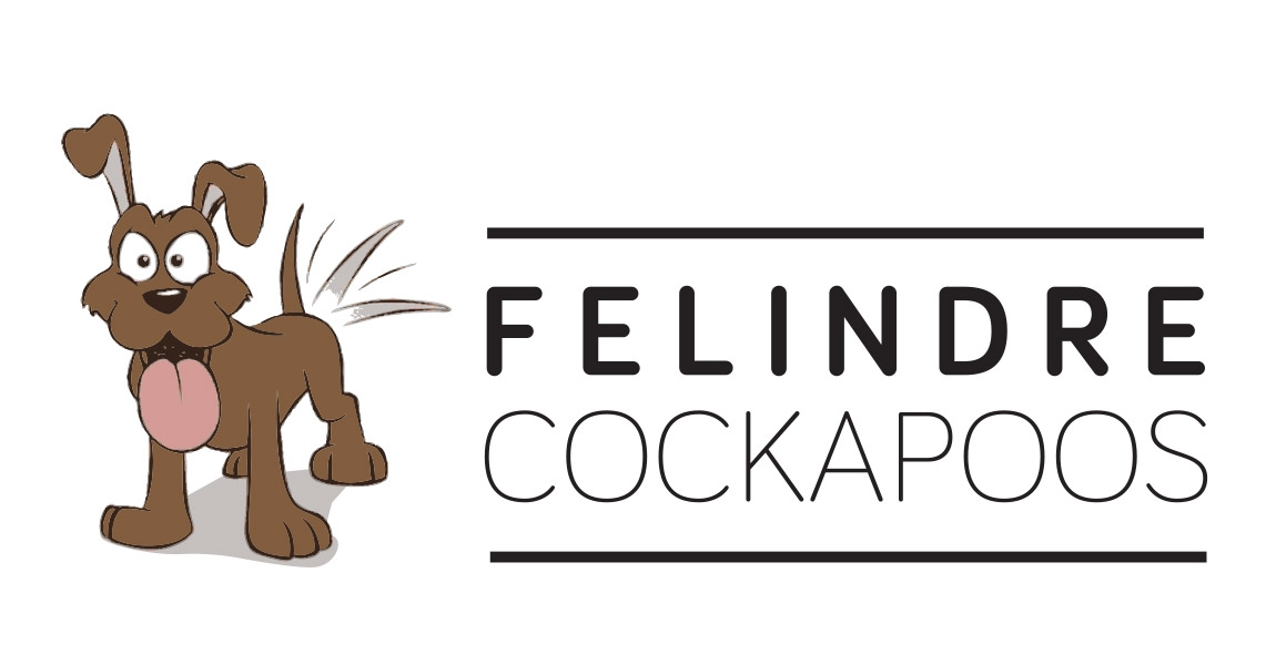 Cockapoo Puppies For Sale - Felindre Cockapoo Breeders UK