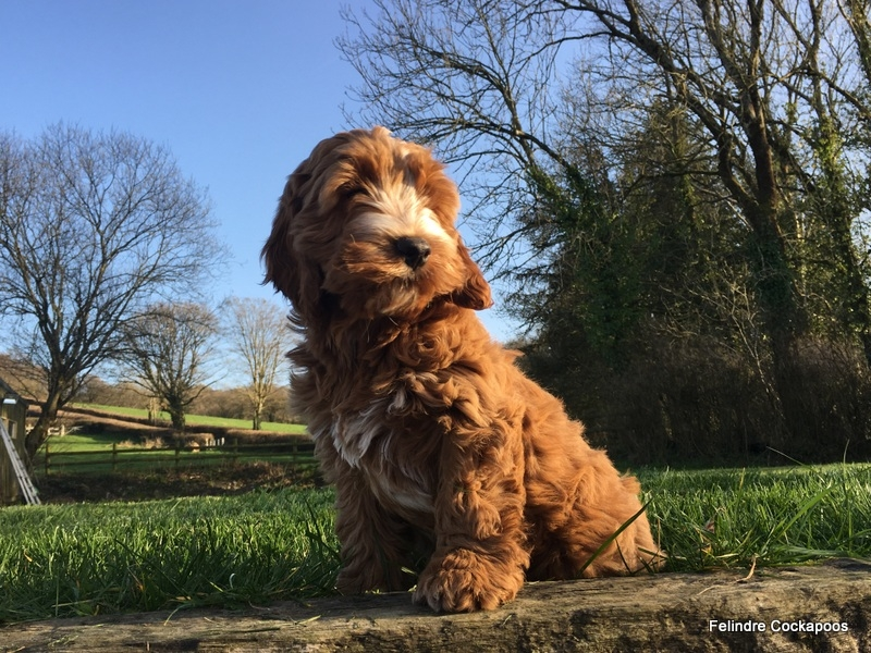 Cockapoo Puppies For Sale - Felindre Cockapoo Breeders UK